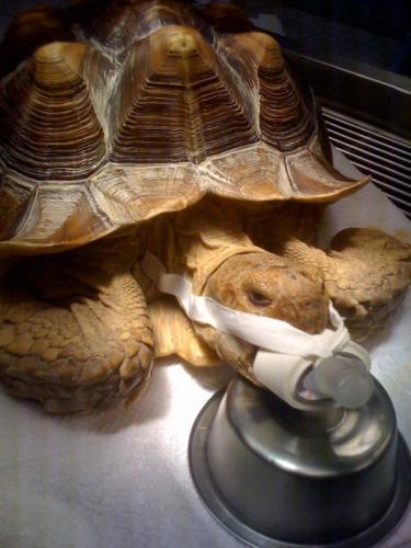 Tortoise Surgery